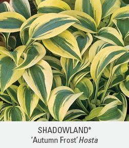 shadowland autumn frost hosta