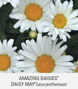 amazing daisies daisy may