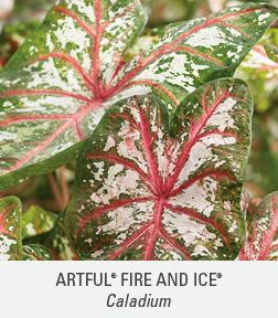 artful fire and ice caladium