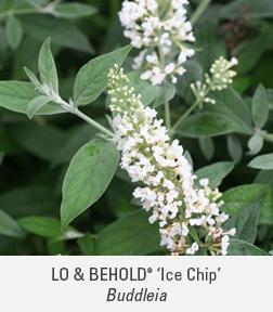 ice chip buddleia