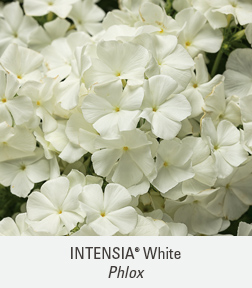intensia white phlox