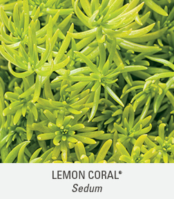lemon coral sedum