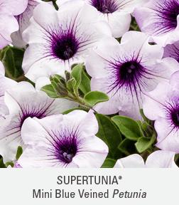 supertunia trailing blue veined petunia