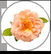 at last rose macro
