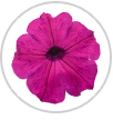 supertunia royal magenta petunia macro