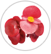 surefire red begonia macro