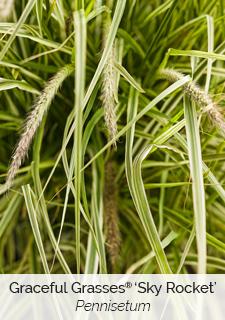 graceful grasses sky rocket pennisetum