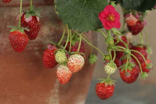 strawberry link