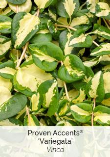 proven accents vinca variegata
