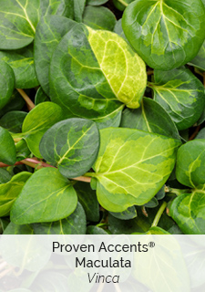proven accents maculata vinca