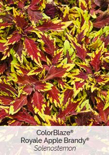 colorblaze royale apple brandy solenostemon