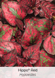 hippo red hypoestes