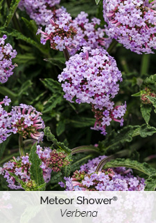 meteor shower verbena