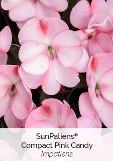 sunpatiens compact pink candy impatiens