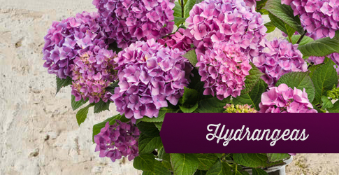 hydrangea page link image