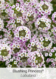 blushing princess lobularia