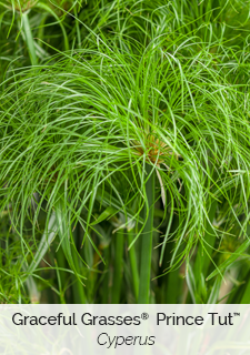 graceful grasses prince tut cyperus