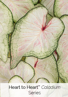 heart to heart caladium series