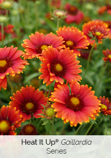 heat it up gaillardia series