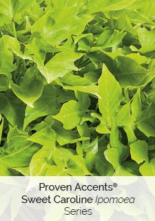 proven accents sweet Caroline ipomoea series