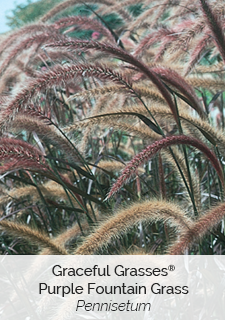 Graceful grasses purple fountain grass pennisetum