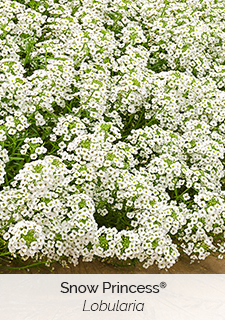 snow princess lobularia