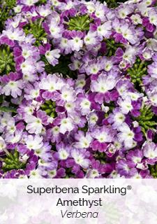 superbena sparkling amethyst verbena