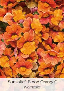sunsatia blood orange nemesia