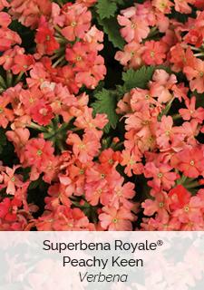 superbena Royale peachy keen verbena