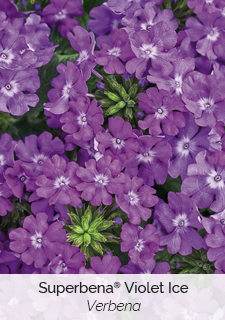 superbena violet ice verbena