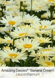 amazing daisies banana cream leucanthemum