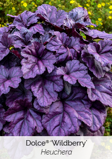dolce wildberry heuchera