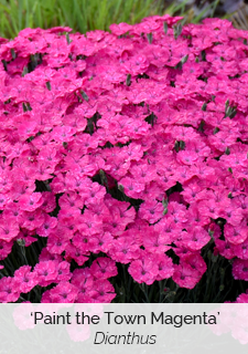 paint the town magenta dianthus