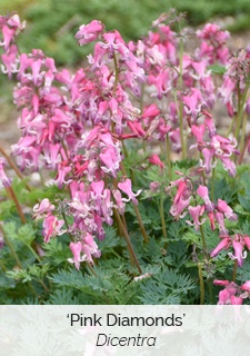 pink diamonds dicentra