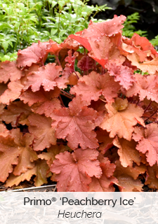 primo peachberry ice heuchera
