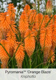 pyromania orange blaze kniphofia