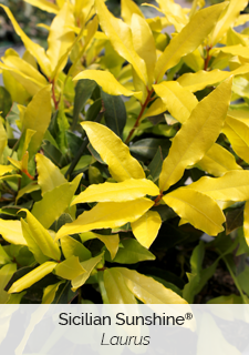 Sicilian sunshine sweet bay laurus