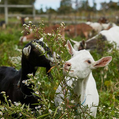 even cuter goats