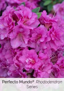 perfecto mundo series rhododendron