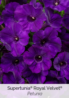 supertunia royal velvet petunia