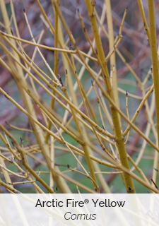 arctic fire yellow cornus