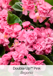 double up pink begonia