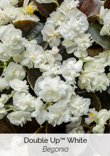 double up white begonia