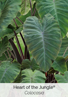 heart of the jungle colocasia