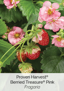 proven harvest berried treasure pink strawberry