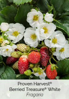 proven harvest berried treasure white strawberry