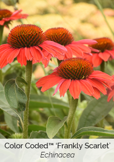 color coded frankly scarlet echinacea