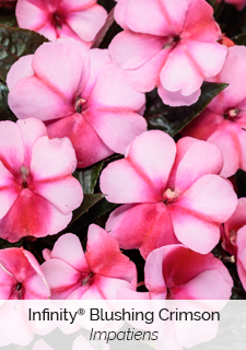 infinity blushing crimson impatiens