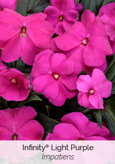 infinity light purple impatiens