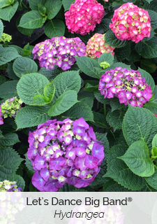 let's dance big band hydrangea